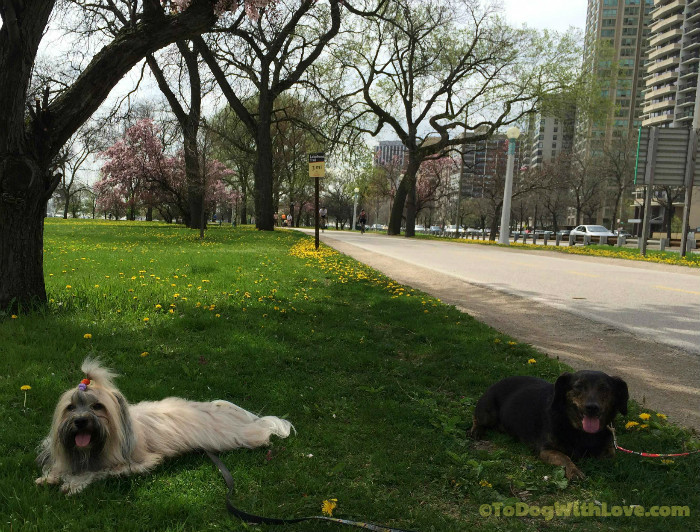 Chicago lakefront, dog ACL injury
