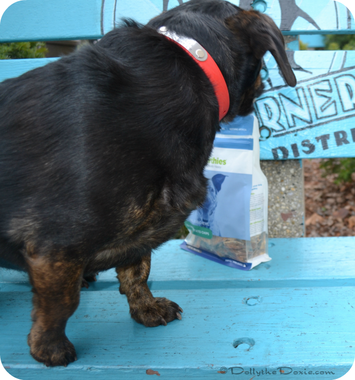 Dolly the Doxie tries Barkworthies sweet potato chips, natural dog treats.
