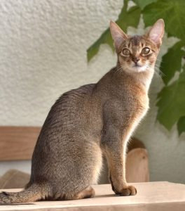 Ticked Tabby Cat