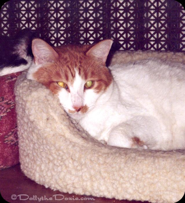 Peaches a mackerel or striped tabby cat