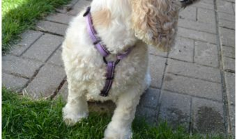 Taffy Reviews the HALTI Walking Harness #ad