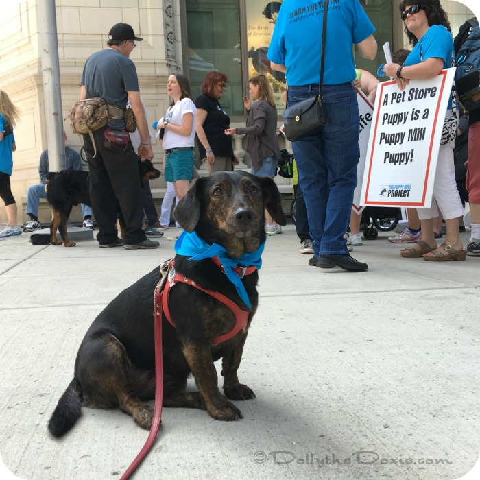 Why We March for Puppy Mill Awareness Day -- to Save Dogs