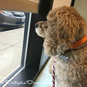 Taffy - chronic bronchitis in dogs
