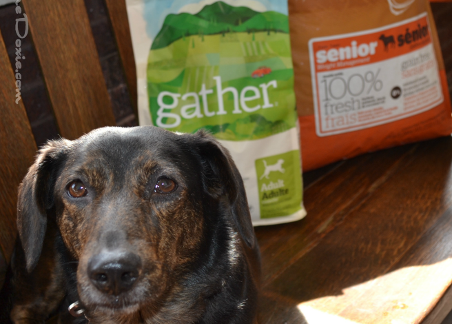 Dolly Goes Vegan — Is a Vegan Diet for Dogs Right for Yours? #ad