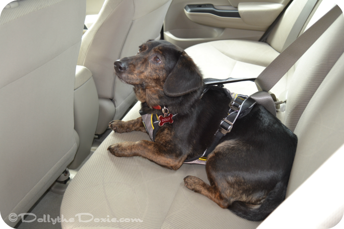 Dolly wearing Kurgo Impact Dog Harness