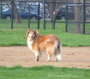 Zoe the Collie Dog 2013