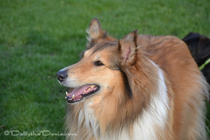 Zoe the Collie — Not Getting To Say Goodbye