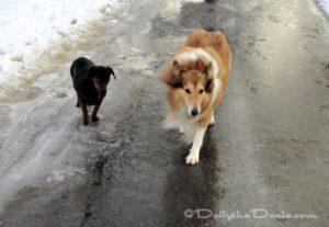 Zoe the Collie Dog 2014