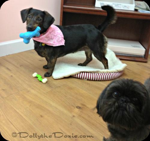 Dolly at work - dog jobs