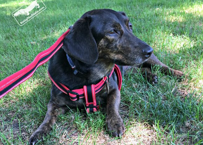 Dolly Reviews KRUUSE's BUSTER Reflective Dog Leash and Harness #ad
