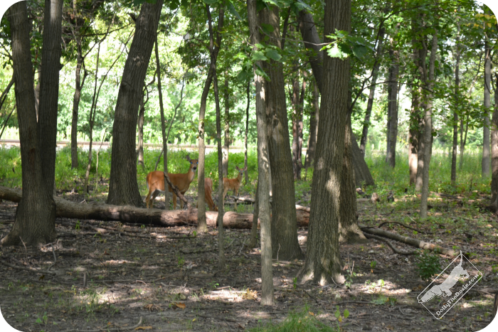 Deer - North Branch Trail